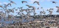 Waders in flight, Delaware Bay (Simon Gillings)
