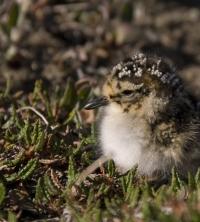 Sanderling chick