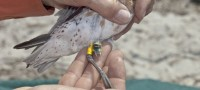 Geolocator on a Red Knot (Jan van der Kam)