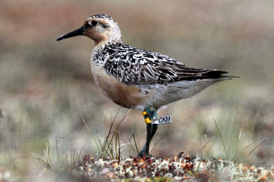 Male Red Knot referred to in the study as GL 180, fitted with a geolocator, and photographed near Meinypilgyno Village, Chukotka, Russia. Photo: Simon Buckell.