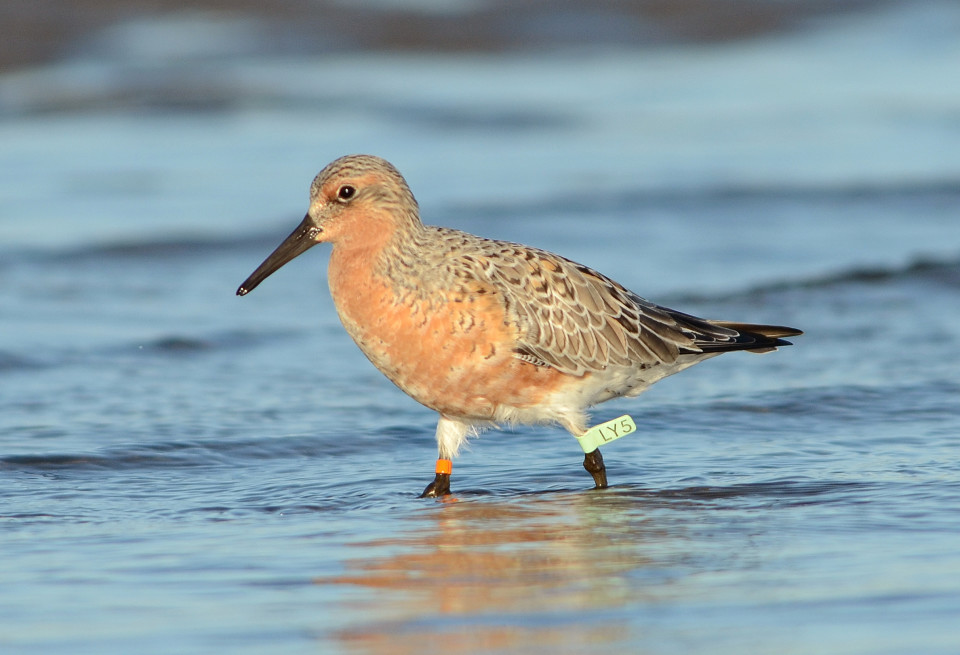 Red Knot flag lime inscribed LY5 was 5 years old when over-summering at Punta Rasa, Argentina, in 2012 (photo: Adrián Azpiroz).