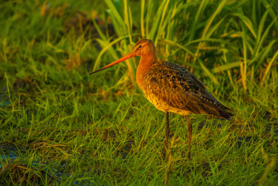 Male Black-tailed Godwit in abandoned hay meadow on the Vinogradovo Floodplain, Russia (photo: Alexander Mischenko).