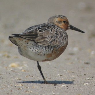 Red Knot Delaware Bay (Simon Gillings)