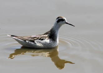 Red-necked Phalarope (Andy Wilson)
