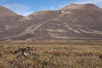 incubating sanderling Zackenberg in background