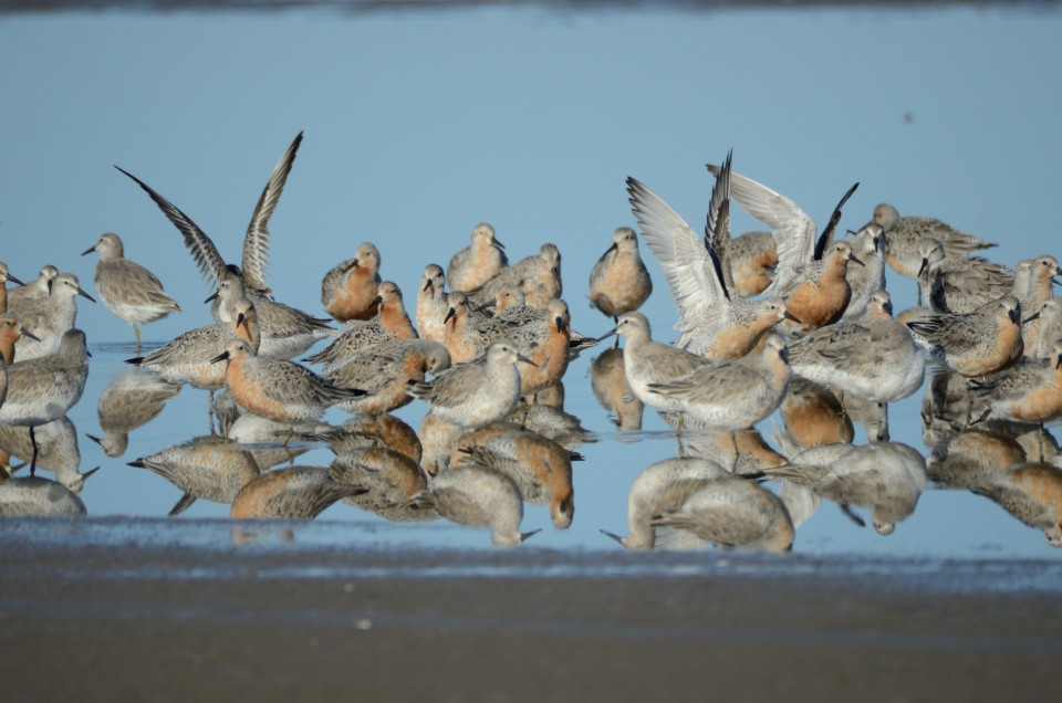Red Knots of mixed ages at Punta Rasa, Argentina, on 25 May 2013 (photo: Natalia Martinez-Curci).